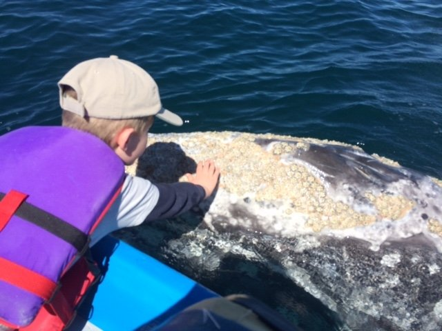 magdalena-bay-whales