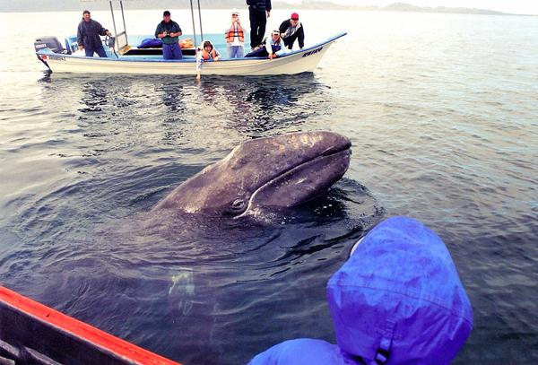 San Carlos Gray Whales 2004
