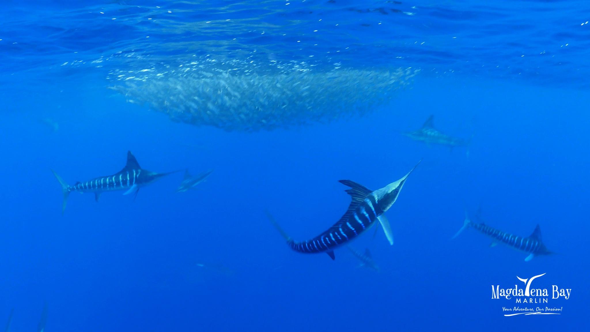 Mag Bay Marlin_13